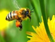 هل الكافيين يساعد النحل على سرعة التلقيح؟ .. التفاصيل هنا !!